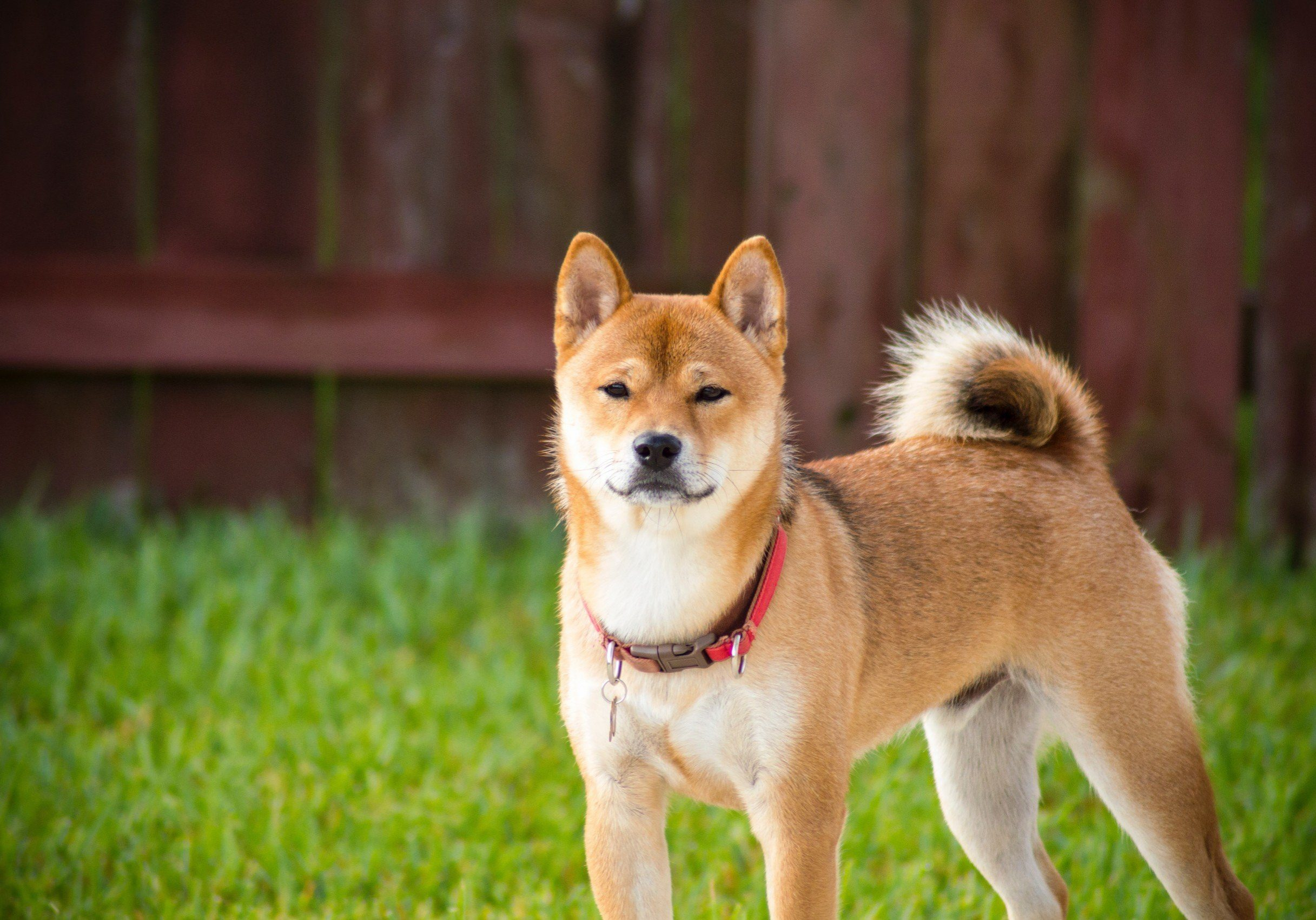 shiba inu national treasure